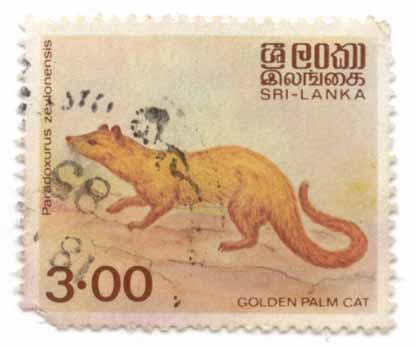 Paradoxurus zeylonensis - Golden Palm Cat