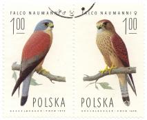 Naumann falcon from Poland